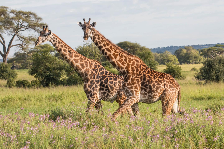 Giraffes in the Tarangire National Park