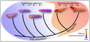 Simplified evolutionary tree showing the fish-tetrapod transition