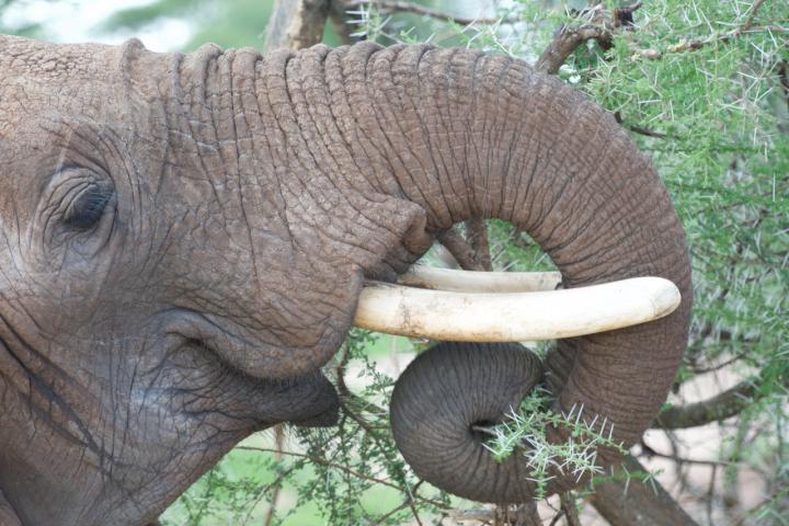 African Bush Elephant's Proboscis