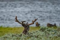 Reindeer in Tundra