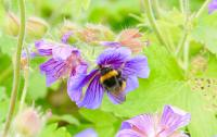 Bumblebee in a Flower (1 of 2)
