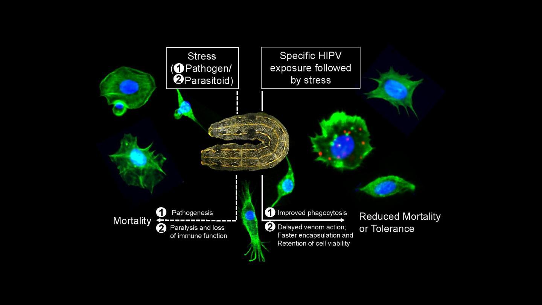 Plant Volatiles Modulate the Cellular Immunity of Spodoptera litura