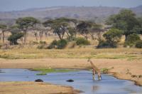 Giraffe roaming the plains in a protected area in Ruaha, Tanzania