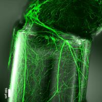 Neurite in a Fiber