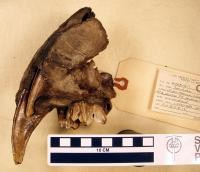 Baby Saber Tooth