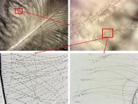 Small details help researchers identify feathers
