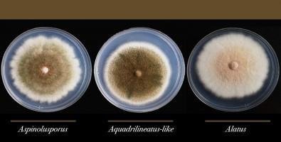 Aspergillus Latus Has Been Found in a Hospital