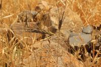 Wild Emmer Wheat 2
