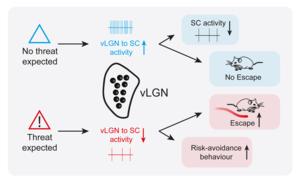 How vLGN regulates instinctive escape behaviour in mice