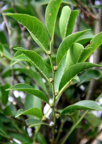 <i>Rinorea niccolifera</i> (1 of 2)