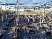 Apple Trees in Containers
