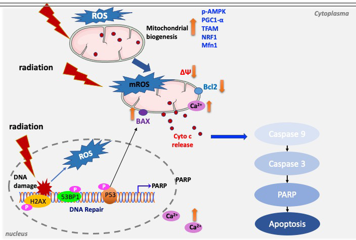 New Study Reveals the Relationship Between Mitochondrial Processes and Apoptosis