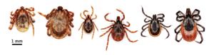 Three major species of ticks distributed in Hokkaido, Japan