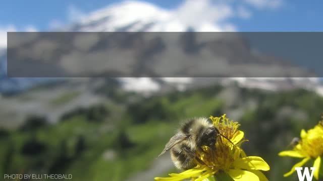 How Climate Change May Shape Wildflower Communities on Mt. Rainier