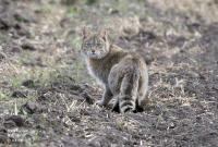 Chinese Mountain Cat (2 of 2)