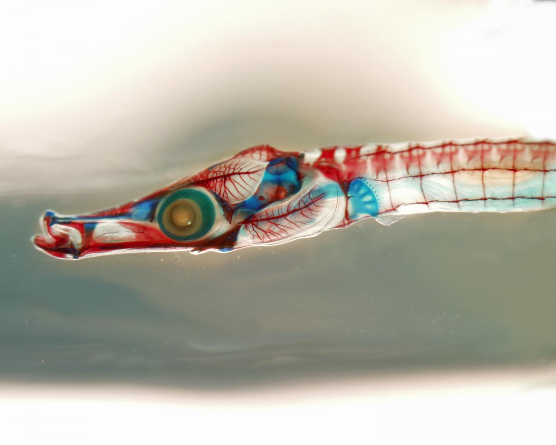 Juvenile Gulf Pipefish