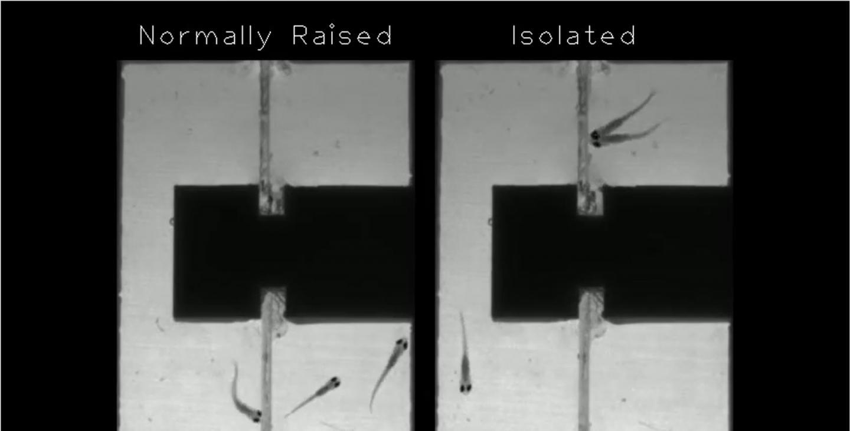Isolated Vs Non-Isolated Zebrafish