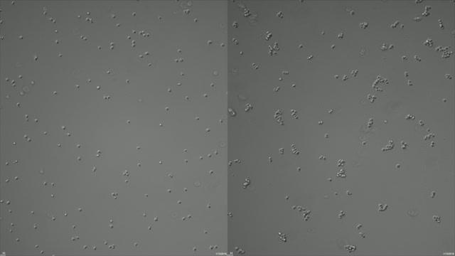 Some Bacteria Trigger Swarming Behavior