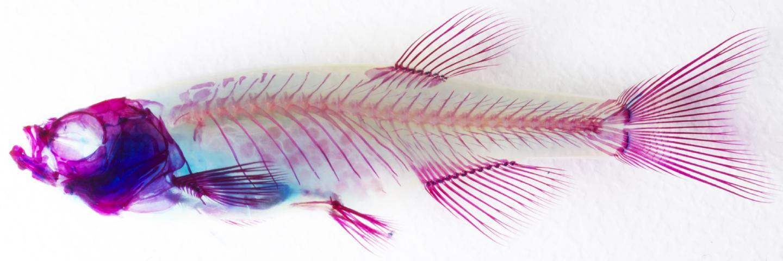 Adult Zebrafish Skeleton