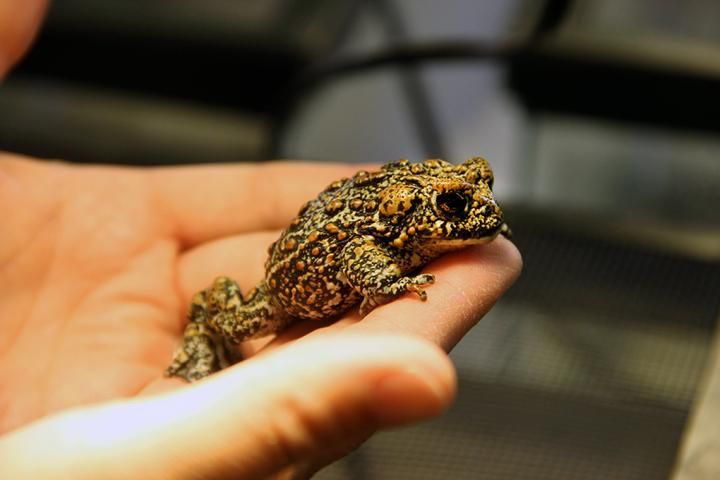The New Dixie Valley Toad