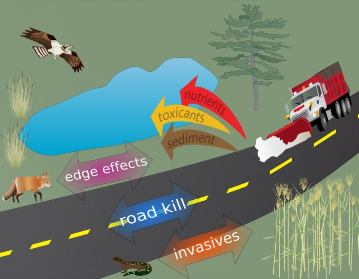Roads as Drivers of Evolution