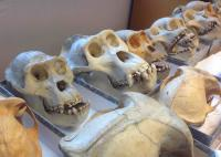 Historical Collections of Gorilla Specimens