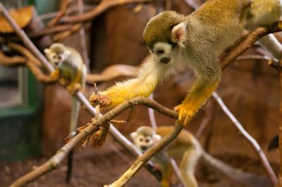 Squirrel Monkey (1 of 2)