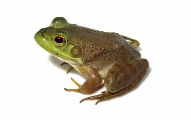 Amphibians Infected by Ranavirus