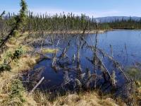 Trees in Permafrost Lake