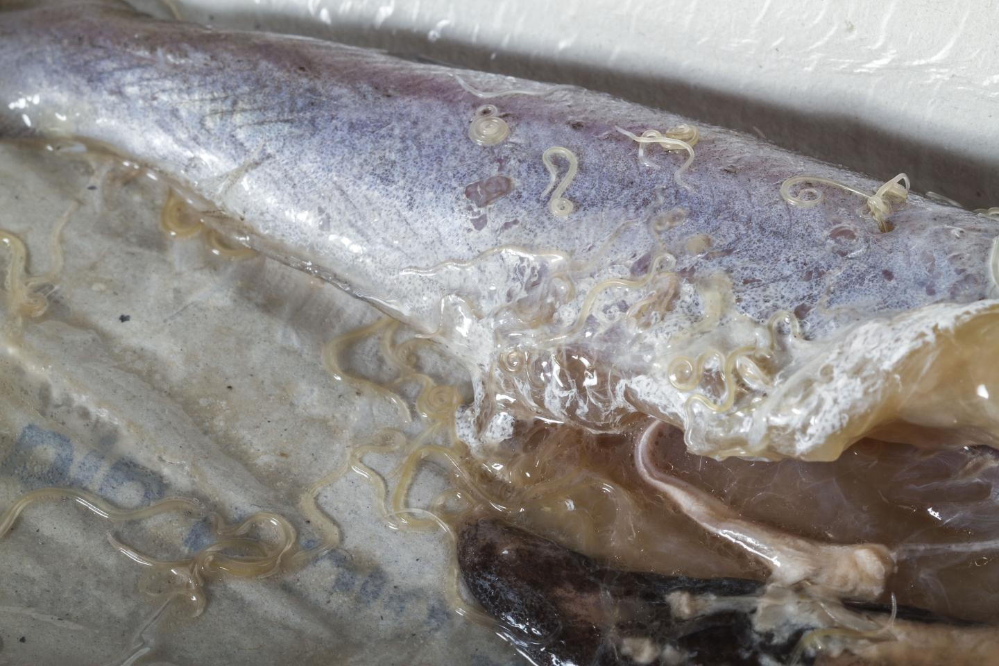 Anisakis Worms in Blue Whiting