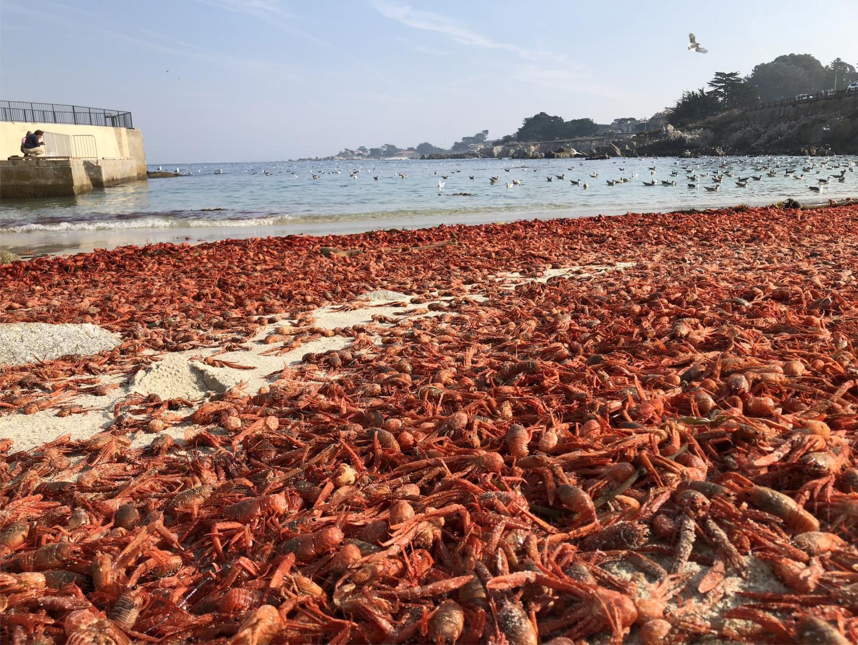 Pelagic red crab stranding