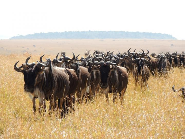 The Great Serengeti Wildebeest Migration
