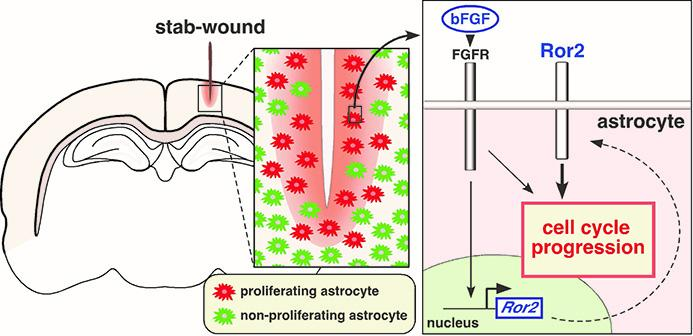 How Brain Tissue Recovers after Injury: The Role of Astrocytes