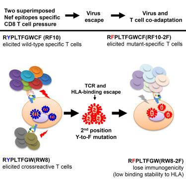 HIV Virus & T Cell Co-adaptation
