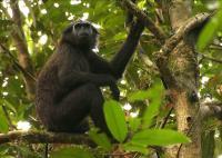 Pig-tailed Snub-nosed Monkey