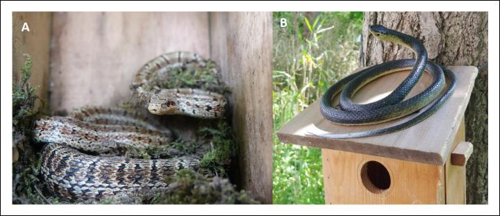 Snakes: Predators of Broods of Oriental Tits