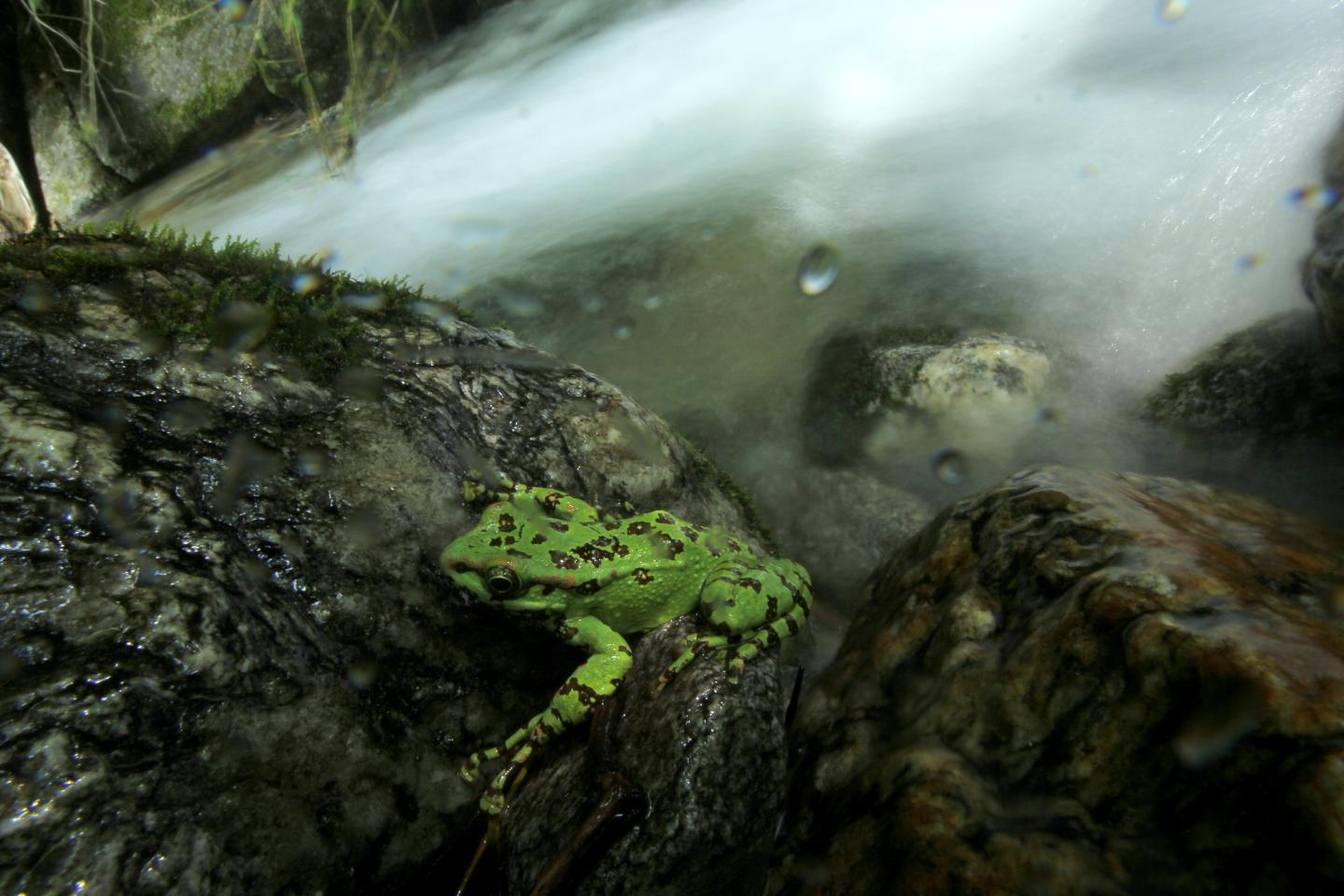 A Beautiful Stream Frog in a Himalayan Torrent Stream
