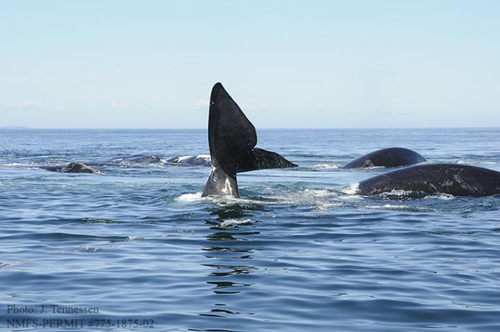 A Surface Active Group of Right Whales