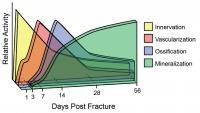 Fracture Repair Process