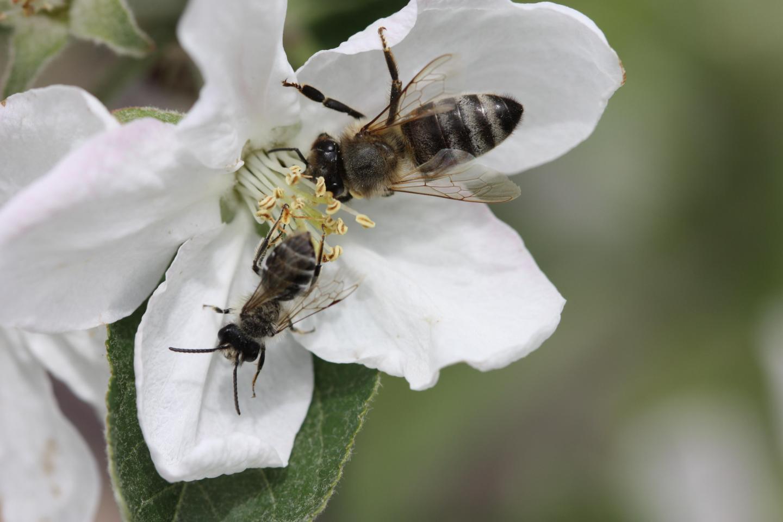 Honey Bee Worker and a Male <em>Andrena sp</em> on Apple Blossom