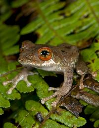 Tree Frogs Evolved after Extinction of Dinosaurs