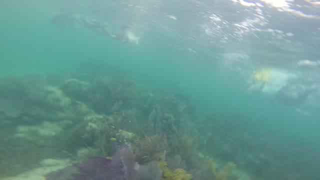 Bluehead Wrasse Transition