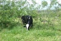 Cow in Silvopasture