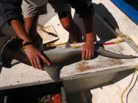 Measuring Shark