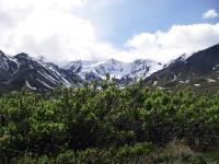 Willow Shrubs in Yukon Territory, Canada