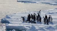 Group of Emperor Penguins on Ice