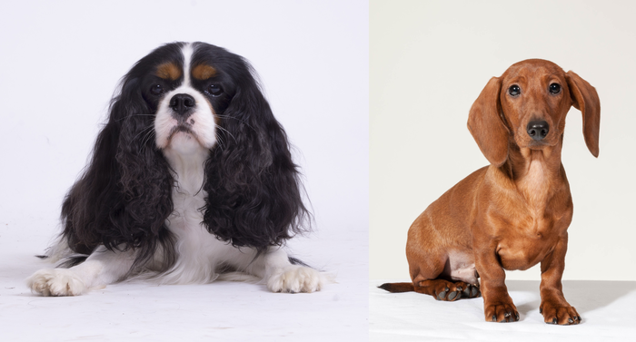 Cavalier King Charles spaniels carry more harmful genetic variants than other breeds