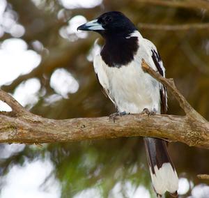 Pied butcherbird