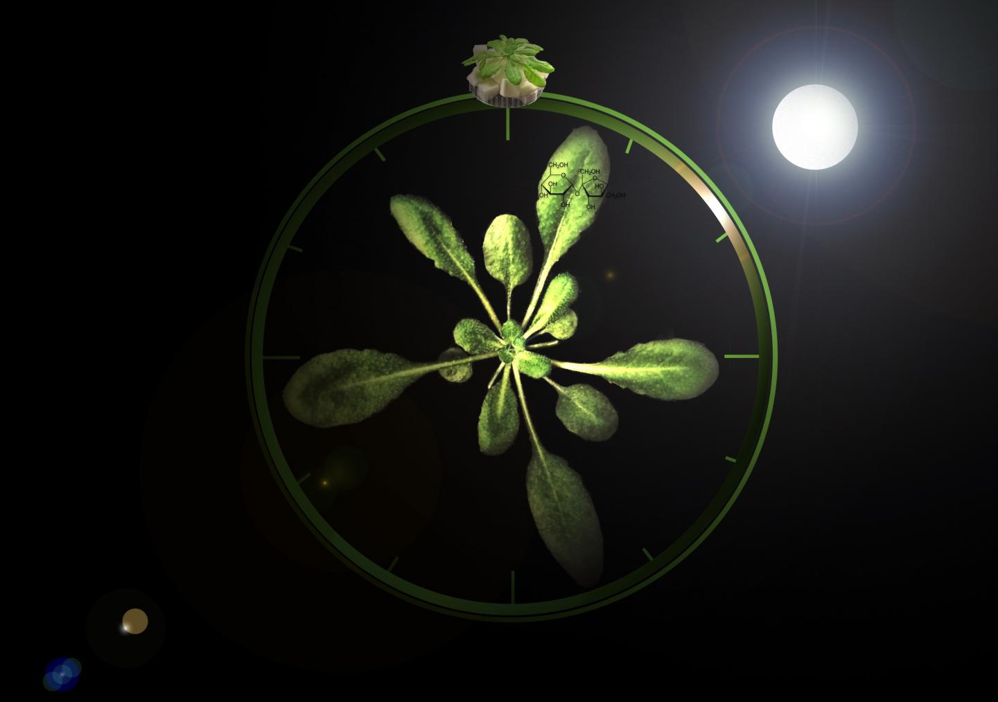 The Plant as a Clock