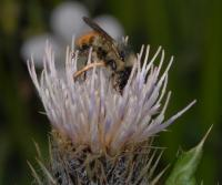 Bumble Bee on a Thistle Flower